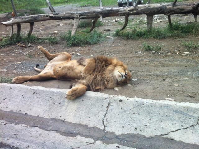 ライオン安心しすぎw