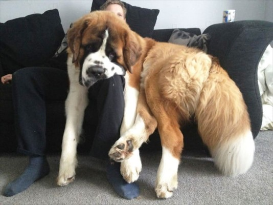 huge-dogs-feel-small-13__605_R