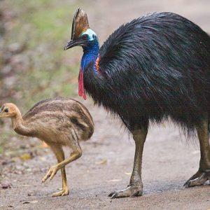 世界一危険な鳥ヒクイドリの蹴りが怖すぎる。見れる動物園まとめ