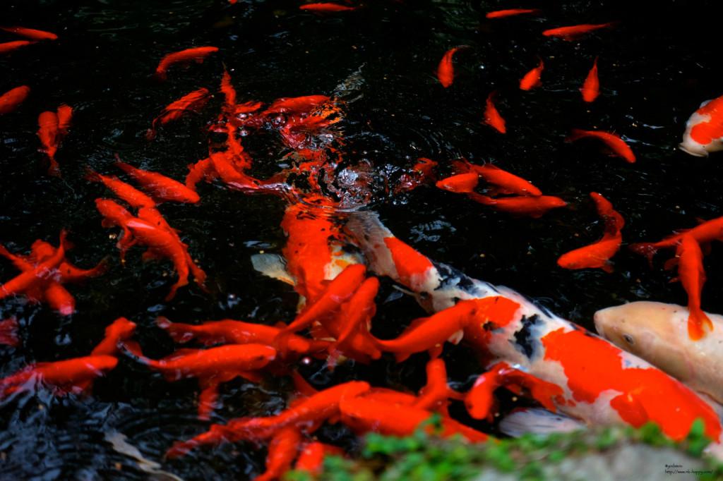 箱崎宮の鯉と金魚2