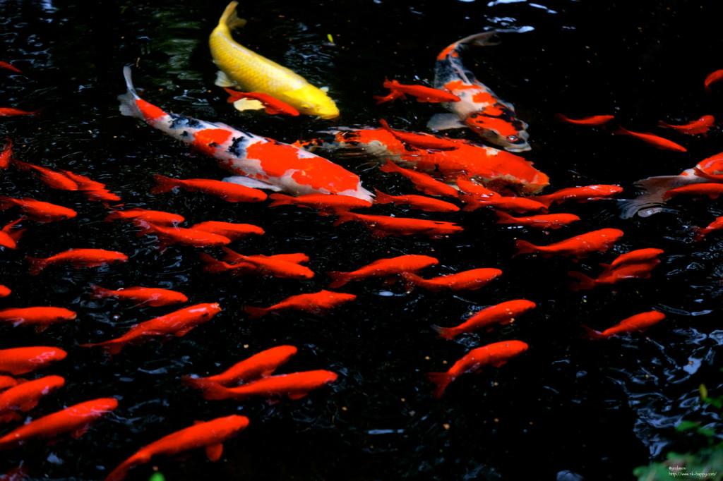 箱崎宮の鯉と金魚4
