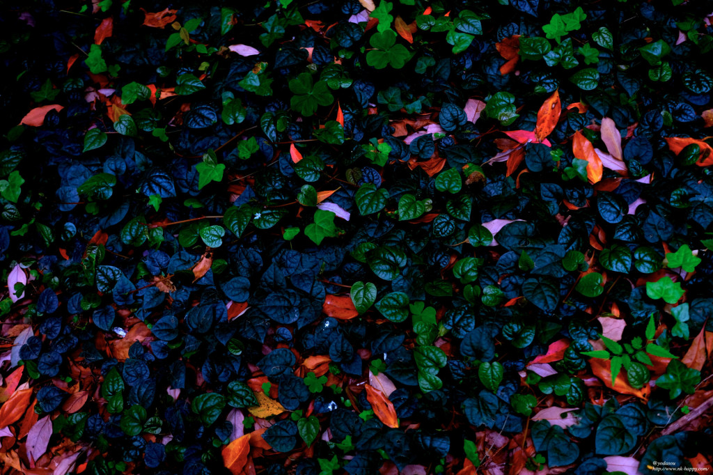 落ち葉と生葉。大濠公園