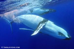 humpback-whale-20140807-1-500x333