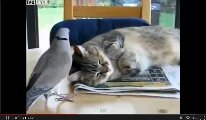 【動画】眠たい猫の耳元で全力でホロッホーと鳴くハトww