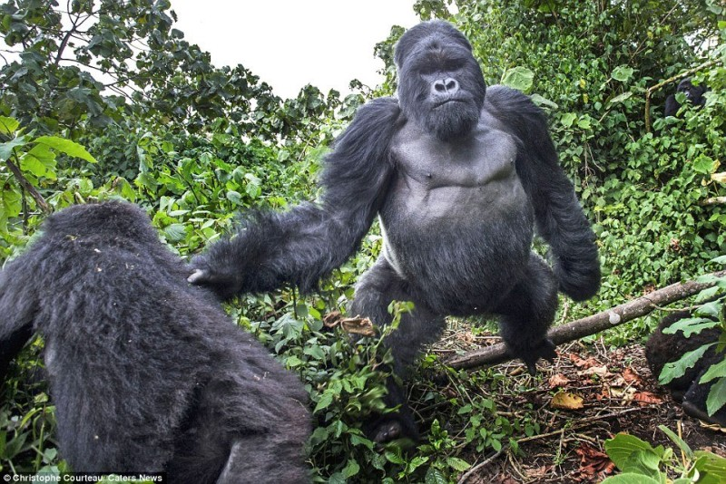2565C2EB00000578-2943275-Akarevuro_the_silverback_gorilla_pictured_appears_to_have_felt_t-a-2_1423265566443