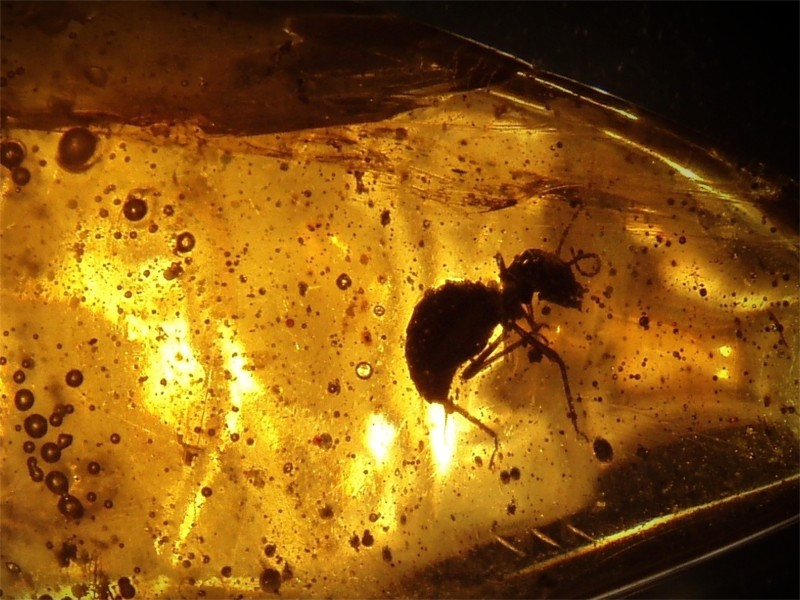 Ant_in_amber