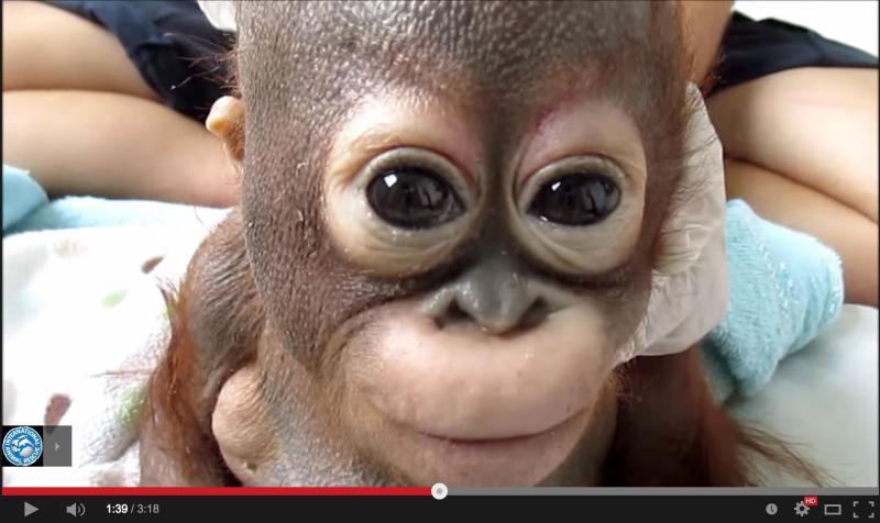 【激萌え】保護されたオラウータンの赤ちゃんが可愛すぎるwww目がクリクリ!