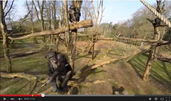 撮影中のドローンを棒でテイッ!!ドローンがチンパンジーに撃ち落とされる。