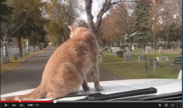 フリーダムにゃんこ!走行中の車の上を猫が縦横無尽に歩き回るwww