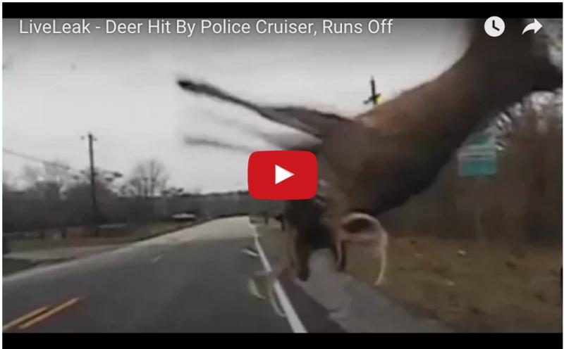 走行中のパトカーに突如飛び出してきた鹿がバイイィィィ〜〜〜ン